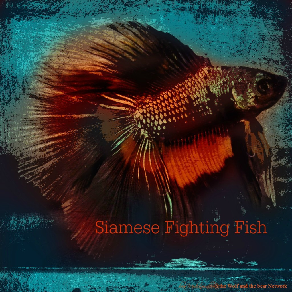 Card 45 siamese fighting fish 1122