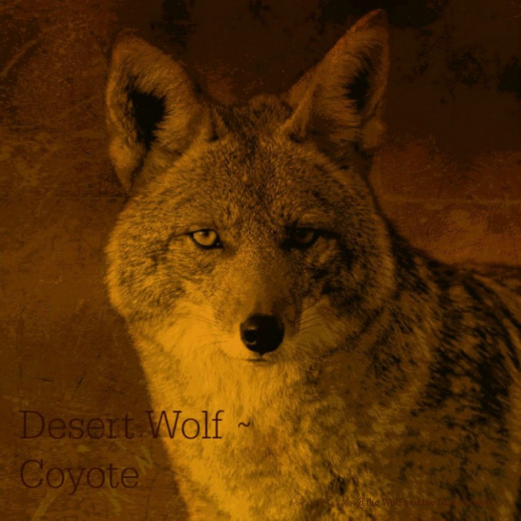 card 7 Desert Wolf Coyote 1122